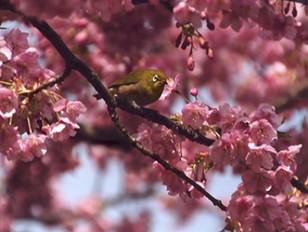 「早桜とメジロ」
