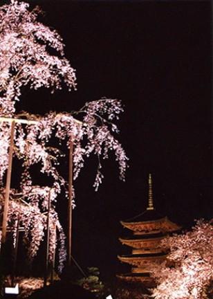 東寺のしだれ桜
