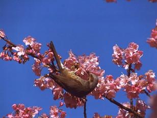 ムクドリと河津桜
