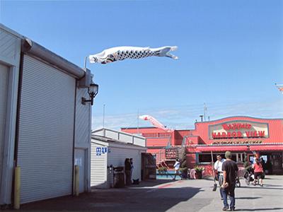 西海岸を泳ぐ緋鯉・真鯉